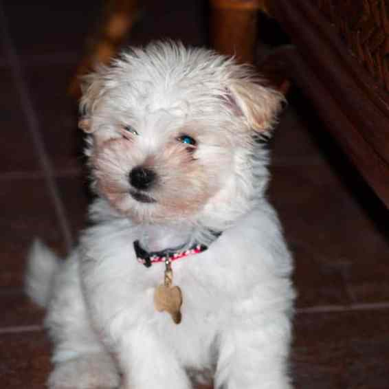 Chico. Havanese. Louise's ARTiculations