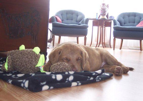 Chesapeake puppy
