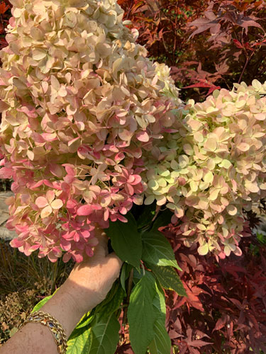 Pink hydrangeas turning to rust in fall