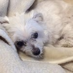 Cherished Pet Sophie for Hall of Fame.