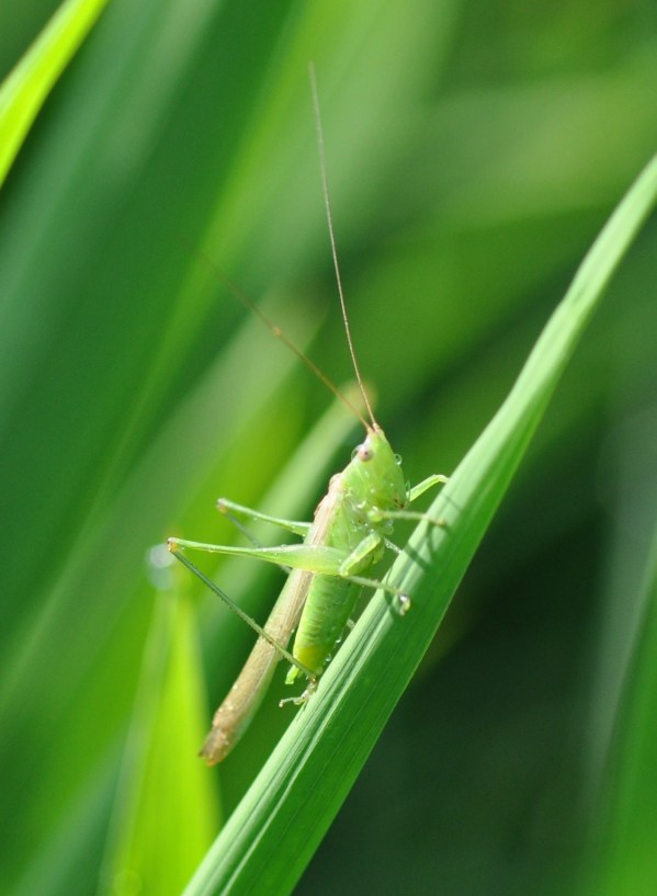 When to treat for grasshoppers in rice Louisiana rice