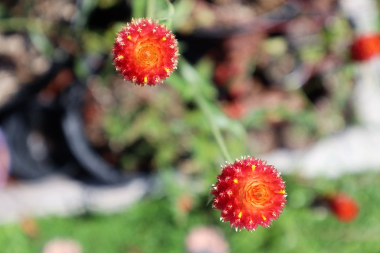 This image has an empty alt attribute; its file name is 2020-08-20-00.05.28-adjusted-strawberry-fields-gomphrena.jpg