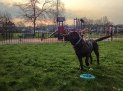 A HDR iPhone photo of a warm sunrise scene in the park. A Chocolate Labrador in a park standing in alert looking to the left. Next to him is a Frisbee and a tennis ball. The background is a children's playground.