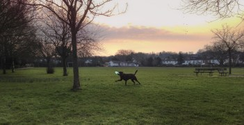 A HDR iPhone photo of a warm sunrise scene in the park. A Chocolate Labrador is running with a blue frisbee in his mouth on the grass. The background is a warm sunrise with some clouds.