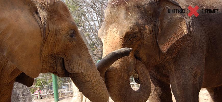 96 elephants louisville zoo