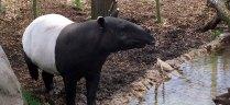 hdr_tapir