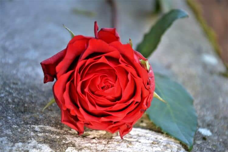 rose rouge du matin