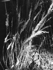 B&W: Tall Grass Gone To Seed