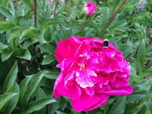 Bumble bee on bright pink tee peony blossom