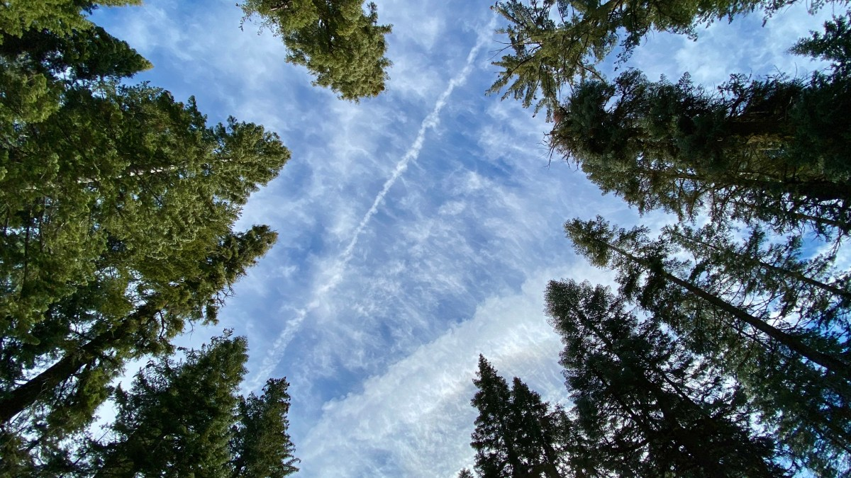 Looking up at the sky through tall trees at Yosemite National Park