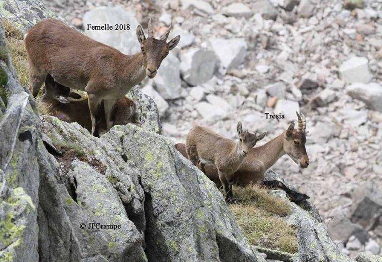 Parc national des Pyrénées : une ribambelle de cabris en 2020