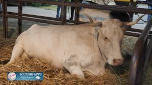 Read more about the article Beau succès de la 2ème édition de la Fête des vaches et brebis lourdaises
