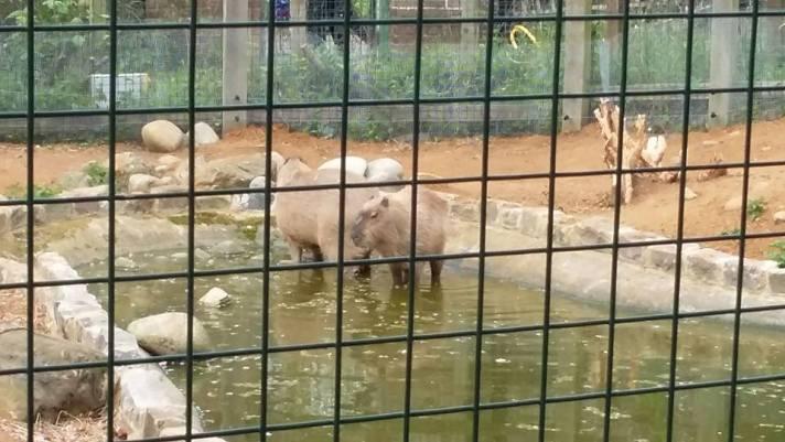 capybara 1