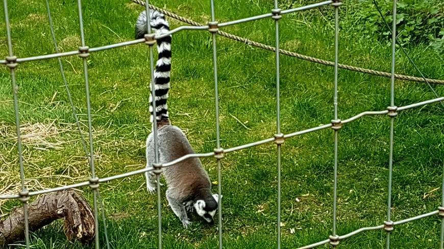 lemur 2