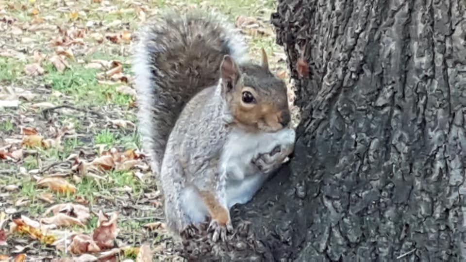 A squirrel in our local park.