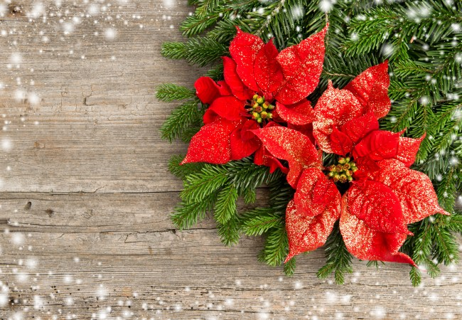 Myth Buster! Are Poinsettia Plants Poisonous?