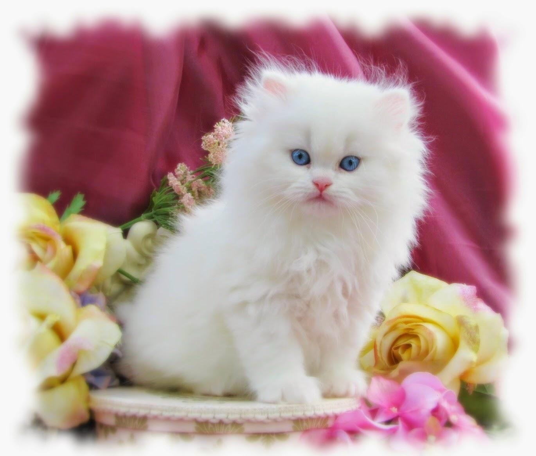 خلفيات قطط بيضاء صغيره كيوت