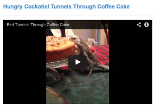 HungryCockatielTunnelsThroughCoffeeCake