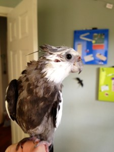 Freshly showered wet cockatiel.