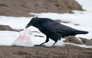 An enterprising raven gets to work shredding things.