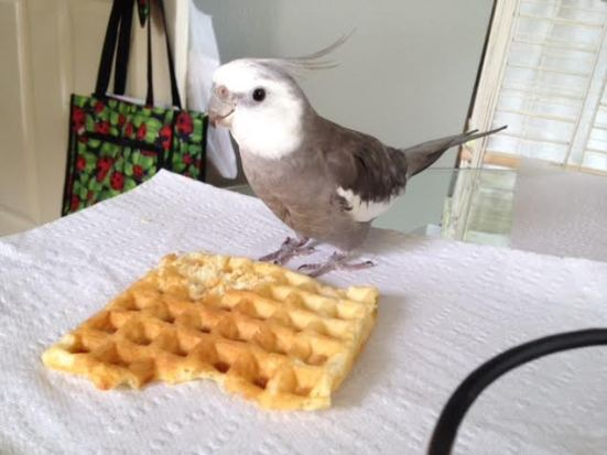 He scans the area to be sure another waffle hawk isn't preparing to challenge him for the prey.