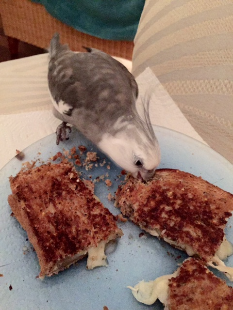 """Step 2: offer delicious grilled cheese to the flock member with the most feathers (aka the """"alpha flock member) for taste-testing."""