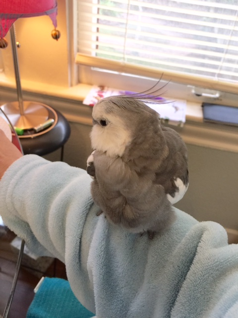 Now that I have a really soft and comfy perch, I think I'll do some preening.