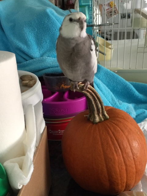 """Would I like a """"pumpkin flavored"""" or """"regular"""" waffle for my treat today?"""