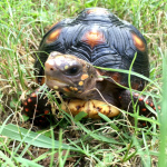 Malti, my 3-year-old red-foot tortoise.