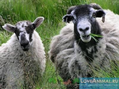 Разведение овец как бизнес в белоруссии. Разведение овец в Беларуси. Возрождение