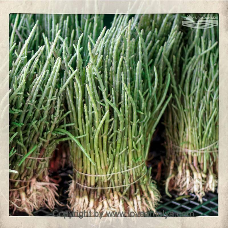 turkish samphire