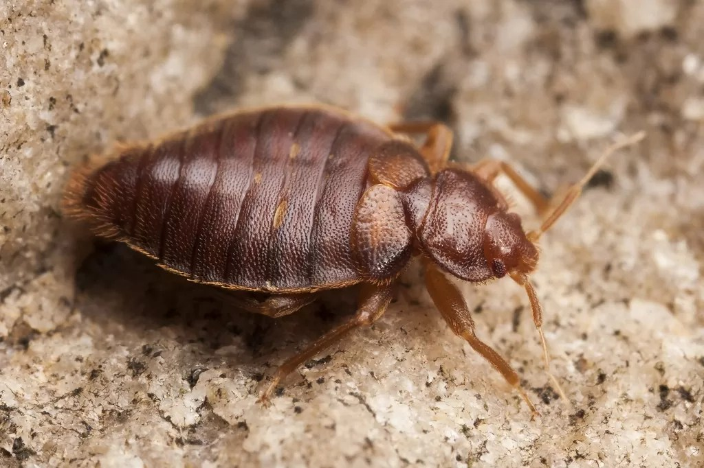 How Long Do Bed Bugs Live? Can They Survive Without Eating ...
