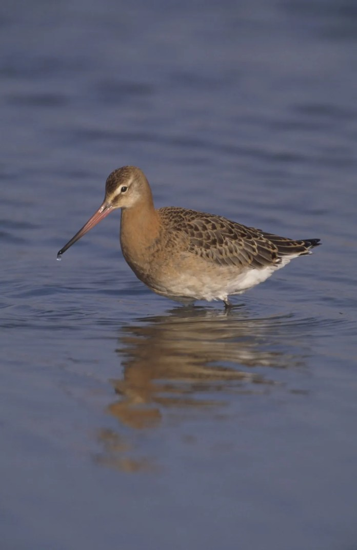 Black-tailed godwit. Credit Chris Gomersall(rspb-images.com)