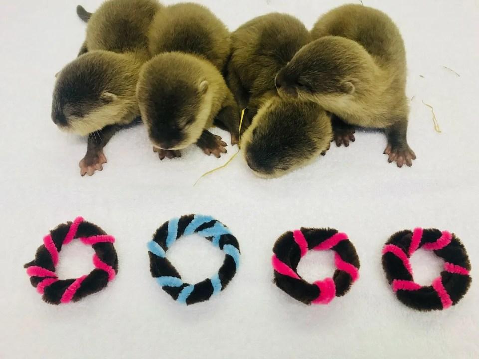 New Otter Pups At Exploris Aquarium