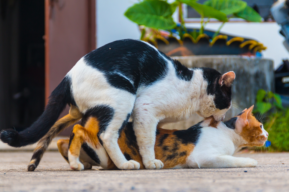 Why do female cats screech after mating and attack the
