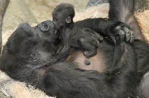 gorilla mom