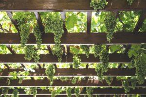 grapes-1542862_960_720