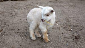 lamb-1778445_960_720