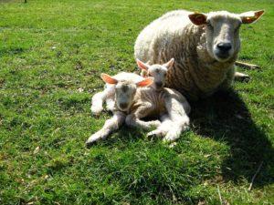 sheep-1747233_960_720
