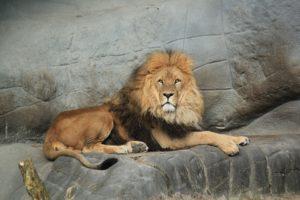 lion-1236169_960_720