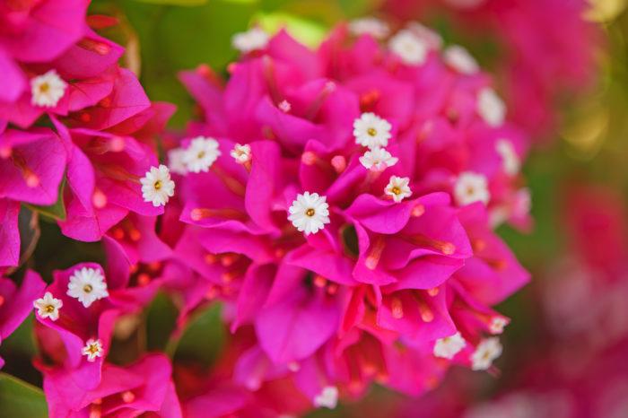 7月23日の誕生花|ブーゲンビリア | LOVEGREEN(ラブグリーン)