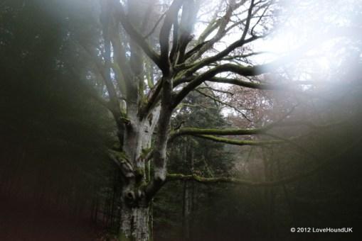 Aging Oak and Misty lens