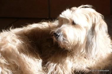 Chutney basking in the sun after a long walk