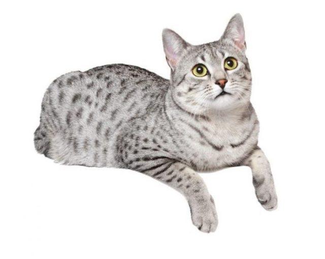 pisica mau egiptean