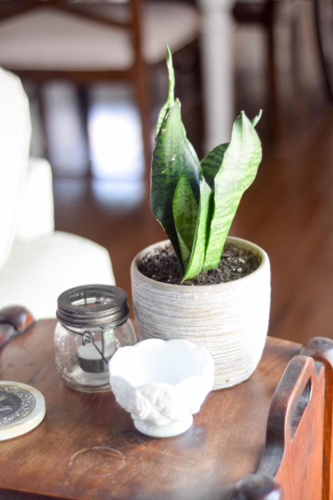 Snake plant that can grow in low natural light
