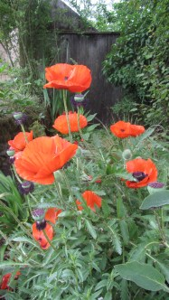 """""""Classic"""" poppies (making up species names in leu of research)"""