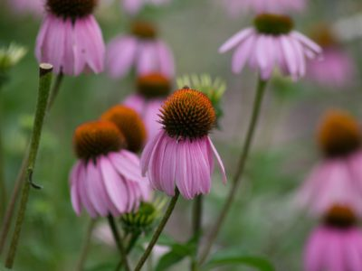 Echinacea is a vibrant purple flower perfect for culinary herb cooking and herbal remedies