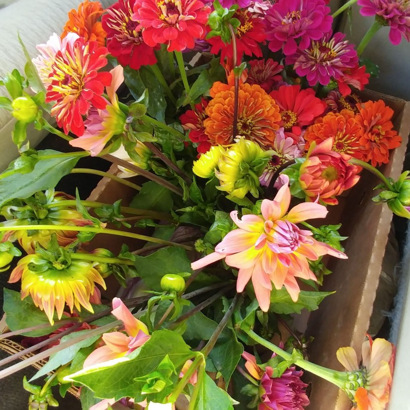 Zinnias and Dahlias Unwifedmotherexpletive