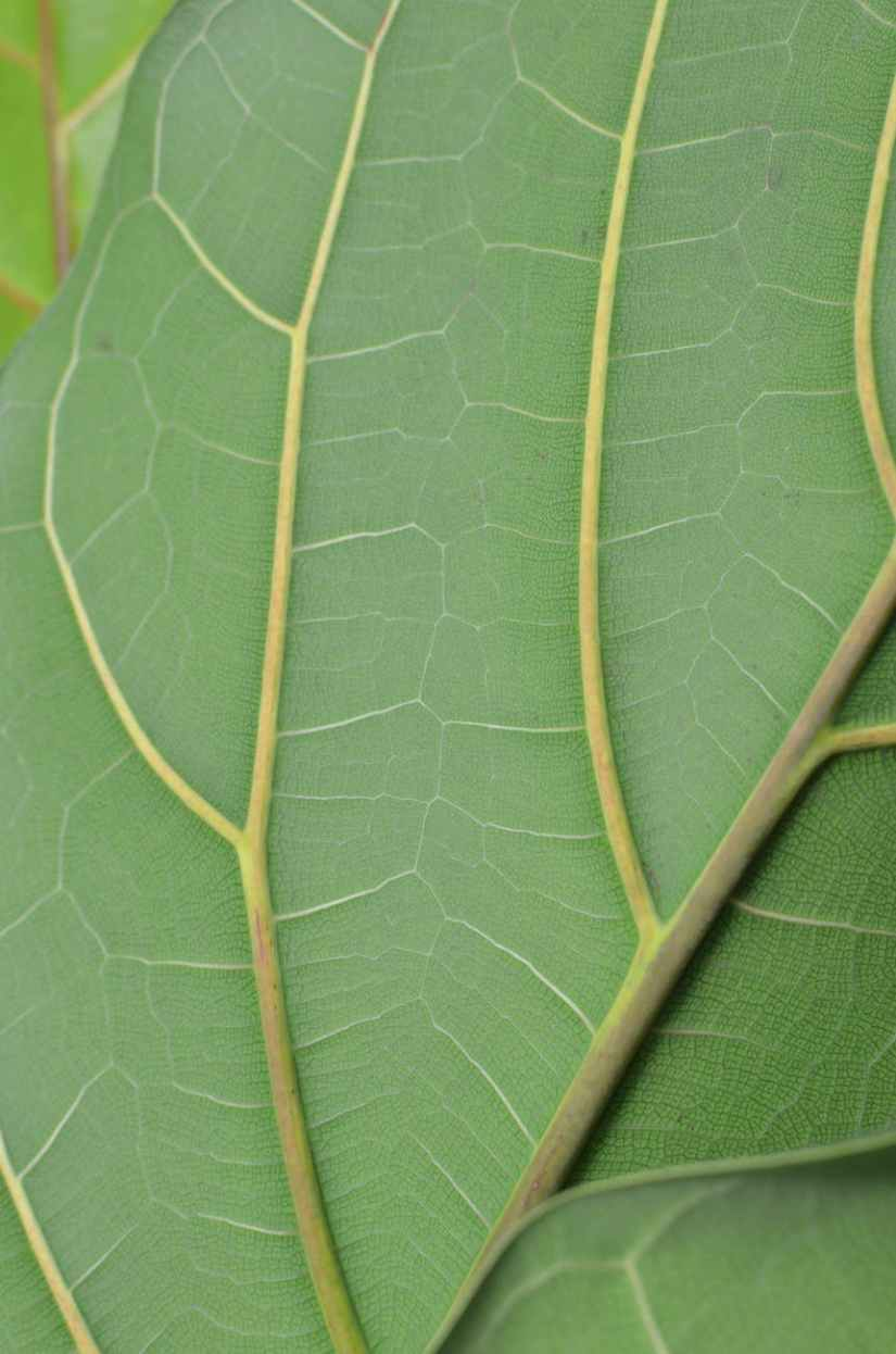 background of natural green leaf with veins