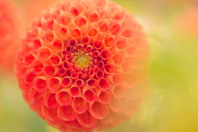 close up photography of orange dahlia flower